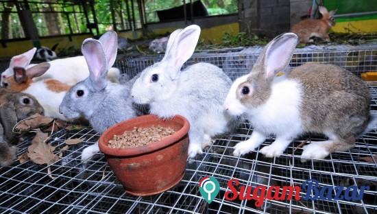 Padampur chitwan rabbit farm