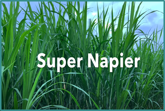 Super Napier Grass