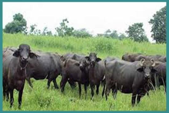 Buffalo Farming, Bharatpur