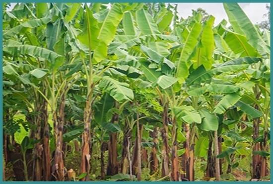 Banana Farming Kalika Municipality